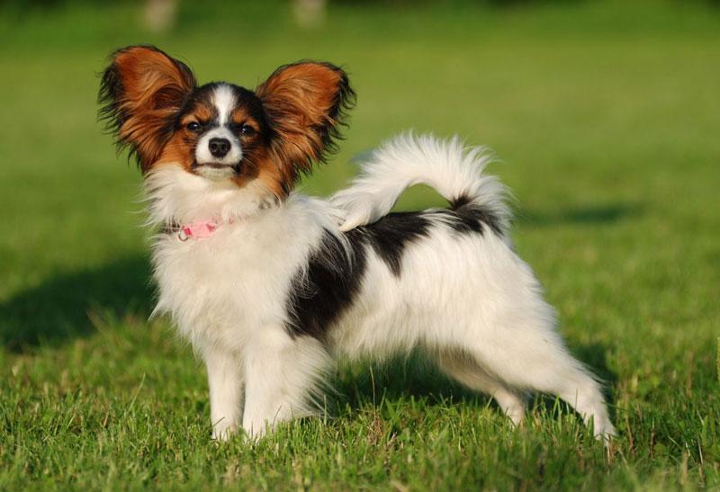 Bài văn tả con chó số 2