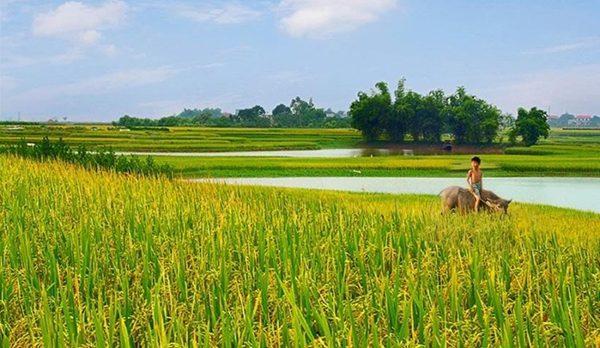Bài văn thuyết minh về con trâu ở làng quê Việt Nam số 3